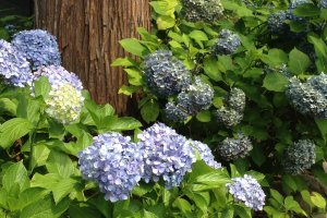 Hydrangeas at the base of the cedar trees.
