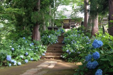 <p>The stairway up to the temple gate, here too with hydrangeas all over.</p>