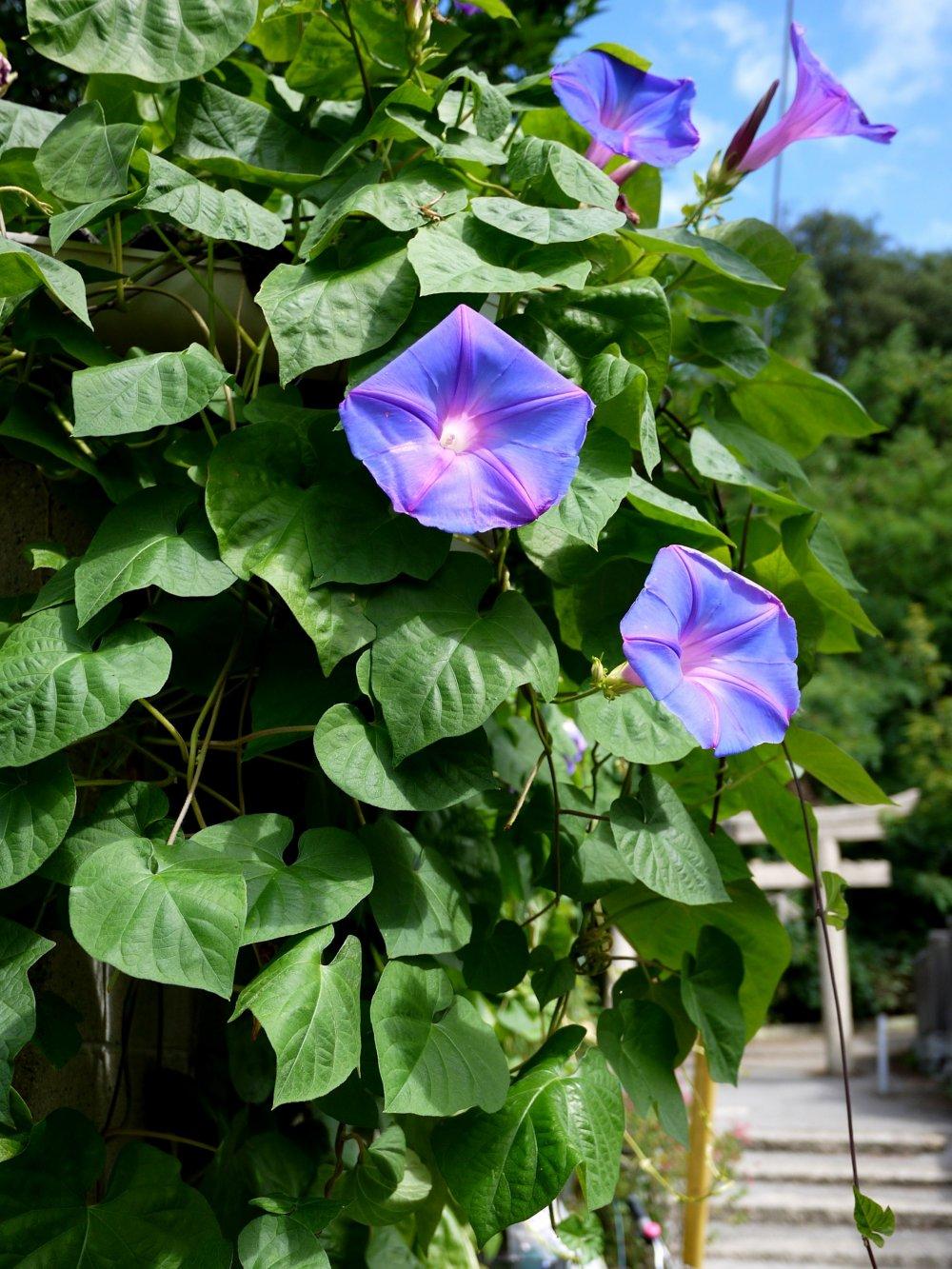 護王神社への小道にアサガオが咲いていた