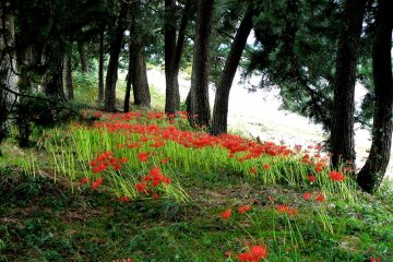 Red Spider Lilies Around Lake Biwa