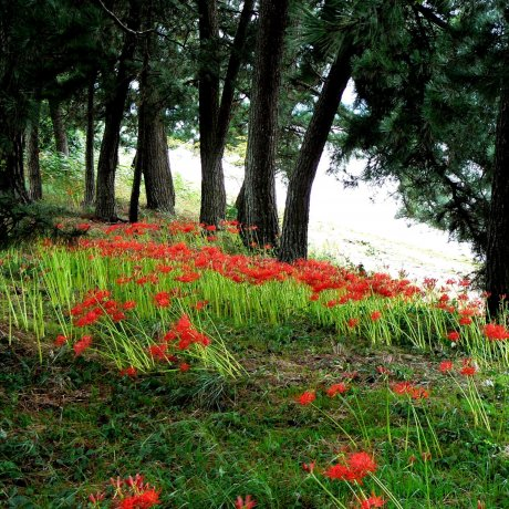 Red Spider Lilies Around Lake Biwa