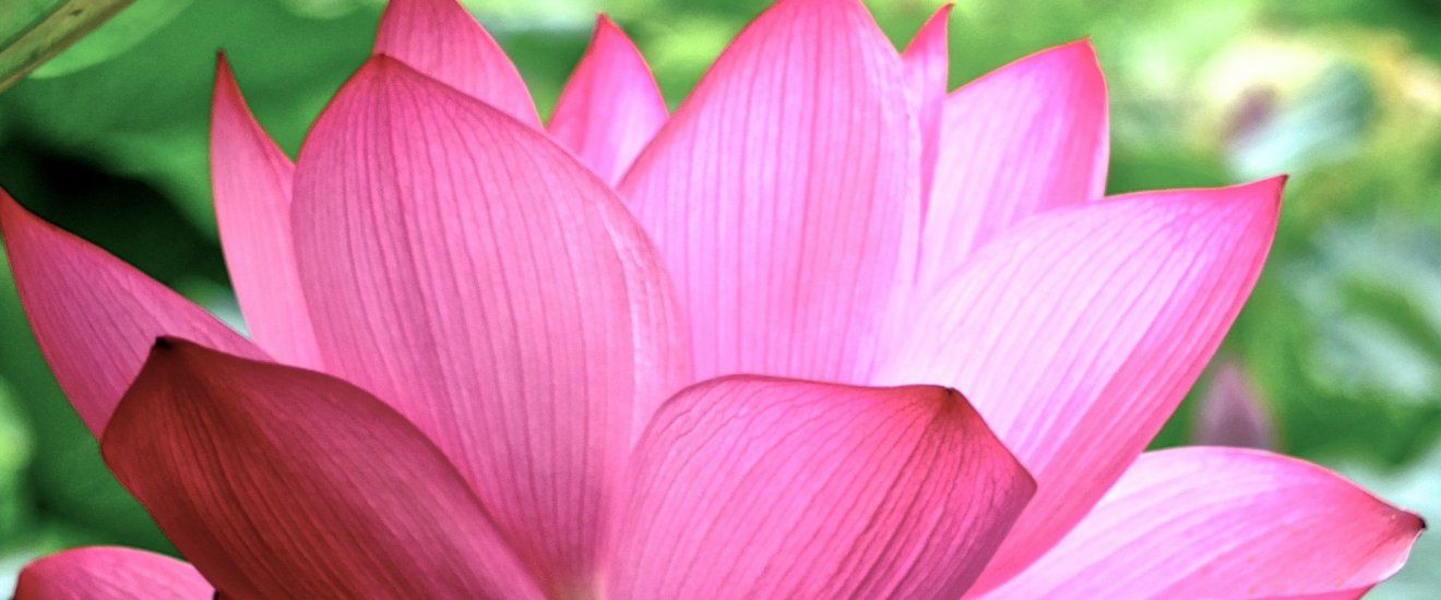 The Japanese Lotus - the most beautiful flower in the world