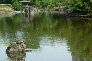 A local resident of Tsurumai Park pond suns himself on a rock.