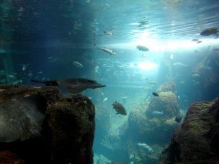 Многие виды рыб живут бок о бок, например, в одном аквариуме можно увидеть и скатов-мант, и акул.