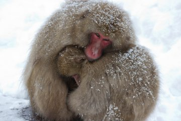 Caring mother macaque keeping her baby warm...