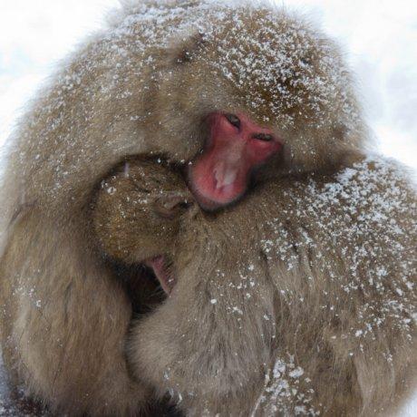 Những chú khỉ tuyết ở Nagano
