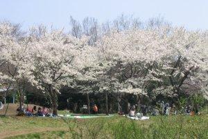Hanami in the park.