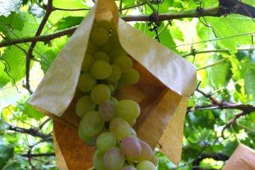 Atago-En Vineyard