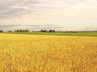 Lorsque le soleil se couche, les épis de blé commencent à briller d'une couleur dorée