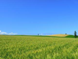 Le ciel est bleu, les nuages blancs flottent dans le ciel et lorsque vous regardez en bas, de jolis arbres se dressent tout au bout de ces immenses champs de blé : que c'est pittoresque !