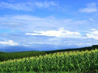 Le maïs pousse abondamment sous ce ciel bleu qui ressemble à une peinture à l'aquarelle tachée. Une fois récolté, ce maïs doit être délicieux.