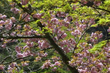 In spring, you'll see various types of cherry blossoms along the way. Yama-zakura has white flowers, Somei-yoshino has pale pink petals, and Yae-zakura has larger light-pink flowers. This is the later.