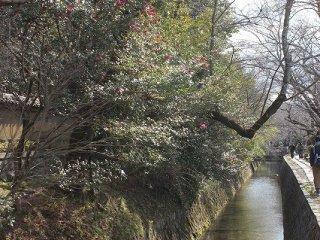 椿やモクレンなどの花枝が疎水にかぶさるように咲く
