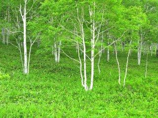 Des troncs blancs et des feuilles d'un vert doux... un paysage courant à Hokkaido
