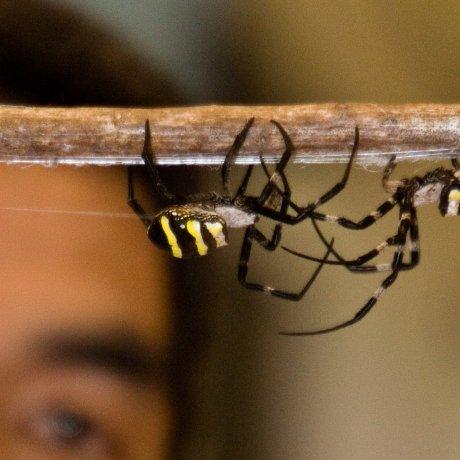Kajiki Spider Fighting Festival