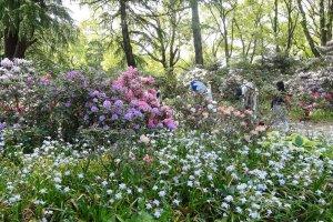 ที่สวนได้เก็บรวบรวมดอกกุหลาบพันปีไว้มากมายหลายสี หลายพันธ์ ตั้งแต่สีขาว สีชมพู สีแดง สีม่วง และแต่ละสีก็สวยสุดใจ