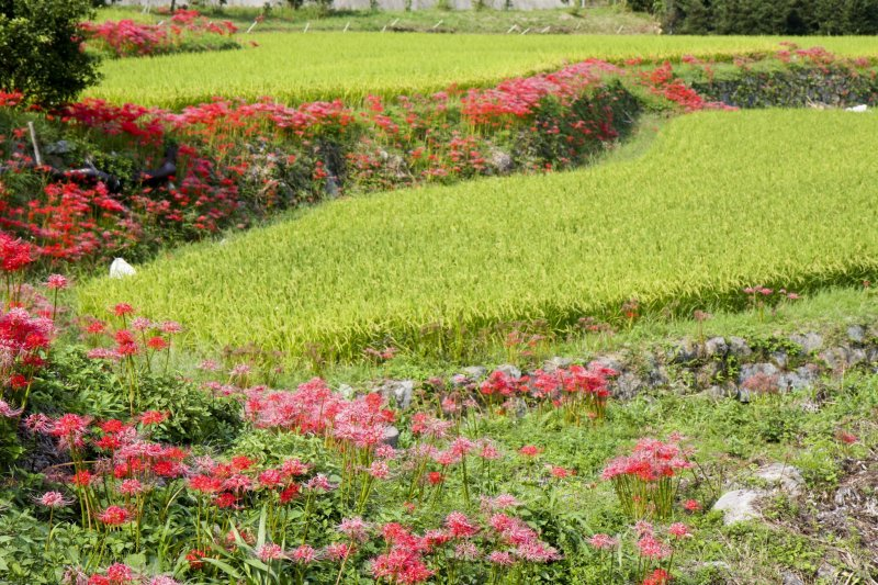 <p>Red and red-and-white spider lilies&nbsp;line these terraced rice fields each September</p>