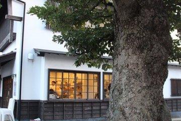 수령 100년이 넘는 후박나무. 예전에는 조선에는 빼놓을 수 없는 수목이었다. 나무껍질이 울퉁불퉁해서 정원수로서 별로 인기가 없다고 한다