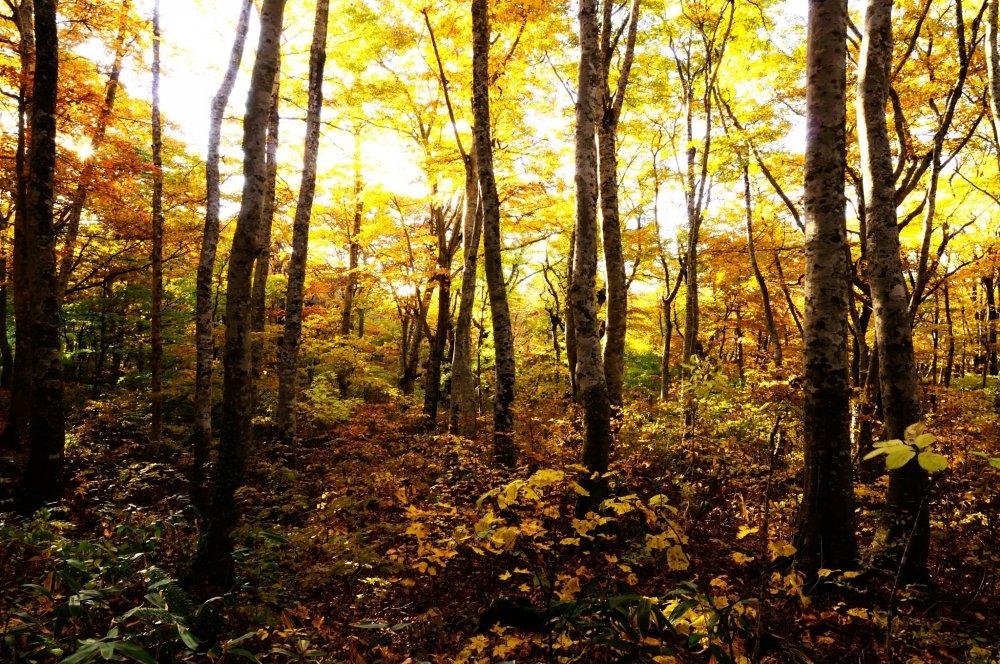大山環状道路、鍵掛峠を越えると三の沢、二の沢、一の沢の有名なブナ林