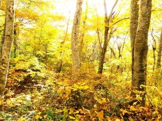ここ大山のブナ林は西日本最大の規模と云われる