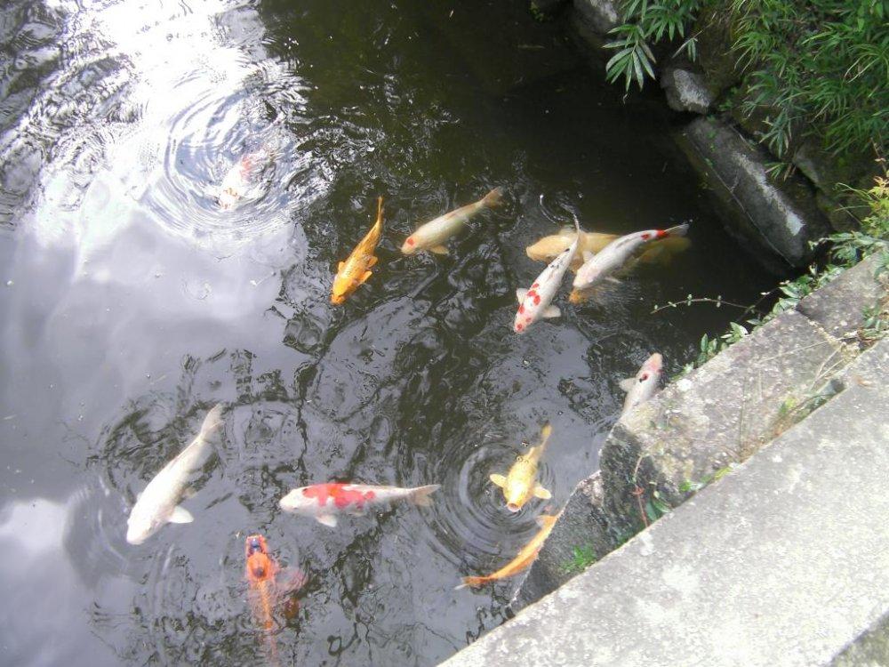 Japanese koi swimming in pond at Shizutani school
