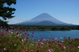 ดอกไม้และต้นไม้พร้อมใจกันประดับเขาฟูจิที่มะเลสาบ Shojiko