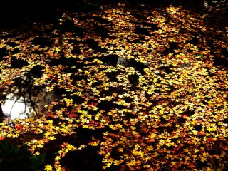 Fallen leaves floating in Benten Pond look like a beautiful painting