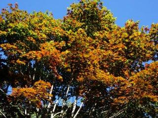 ใบไม้เปลี่ยนสีที่ oze park สาบานได้ว่าไม่ได้ใส่ effect ใดๆ