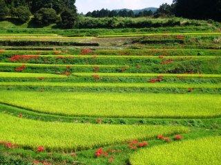 Des amaryllis rouges dans une rizière près de la ville de Yamato dans la préfecture de Kumamoto