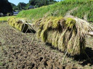 Les tiges de riz sont coupées, regroupées et mises à sécher