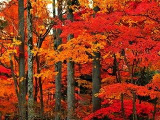 杉木立の間を縫うような朱の楓 雲がたなびくような紅葉だ