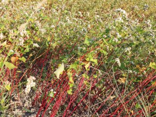 肥料が勝ち過ぎると穂が倒れてしまう