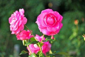 Foto mawar dari dekat