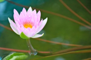 """Beautiful, beautiful Water Lily called the """"Pink Pearl"""""""