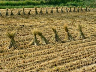 Bundles of rice straw in a harvested field