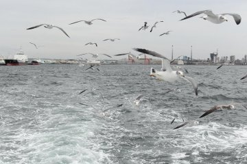 <p>Hungry seagulls trailing the cruise boat</p>