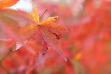 <p>The gorgeous maple leaves</p>