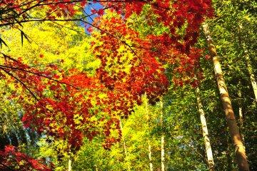 <p>Как и ожидалось, бамбуковая тропинка. Молодая листва в сочетании с красными листьями также превосходна.</p>