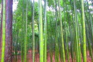 Kairakuen's majestic bamboo forests