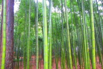 <p>Kairakuen&#39;s majestic bamboo forests</p>