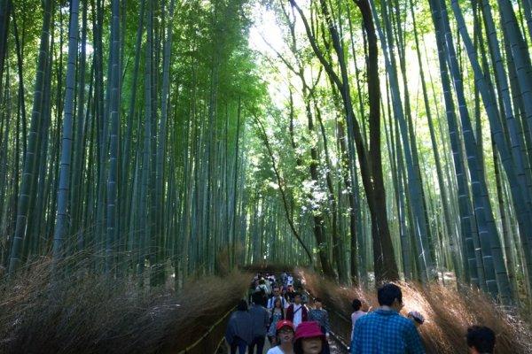 เส้นทางสายป่าไผ่แห่งอราชิยาม่า (Arashiyama Bamboo Groves) เส้นทางสายร่มเย็นที่ปกคลุมไปด้วยต้นไผ่สูงเสียดฟ้านี้มีความยาวกว่า 3 กม. เราสามารถสัมผัสความร่มรืน สูดกลิ่นไผ่และอากาศบริสุทธิ์ แล้วเข้าถึงความสงบแห่งจิตใจได้เป็นอย่างดีทีเดียว
