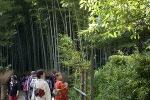 การแต่งชุดกิโมโนเดินชมป่าไผ่เพื่อซึมซับความงดงามของธรรมชาติตามวิถีดั้งเดิมนั้น เป็นธรรมเนียมนิยมของชาวเกียวโตเป็นอย่างมาก