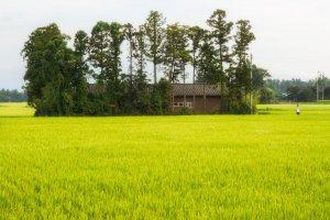 Một người nông dân trên cánh đồng