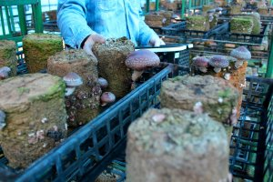 Inside the mushroom greenhouse