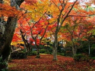 Опавшие листья образуют красивый ковёр под деревьями Сада Дзю-гю (что означаетдесять волов)