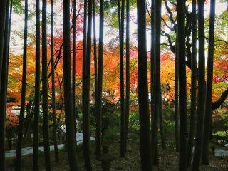 Сад Дзю-гю просматривается сквозь бамбуковую рощу Окё.