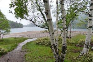 White birch on the shore.