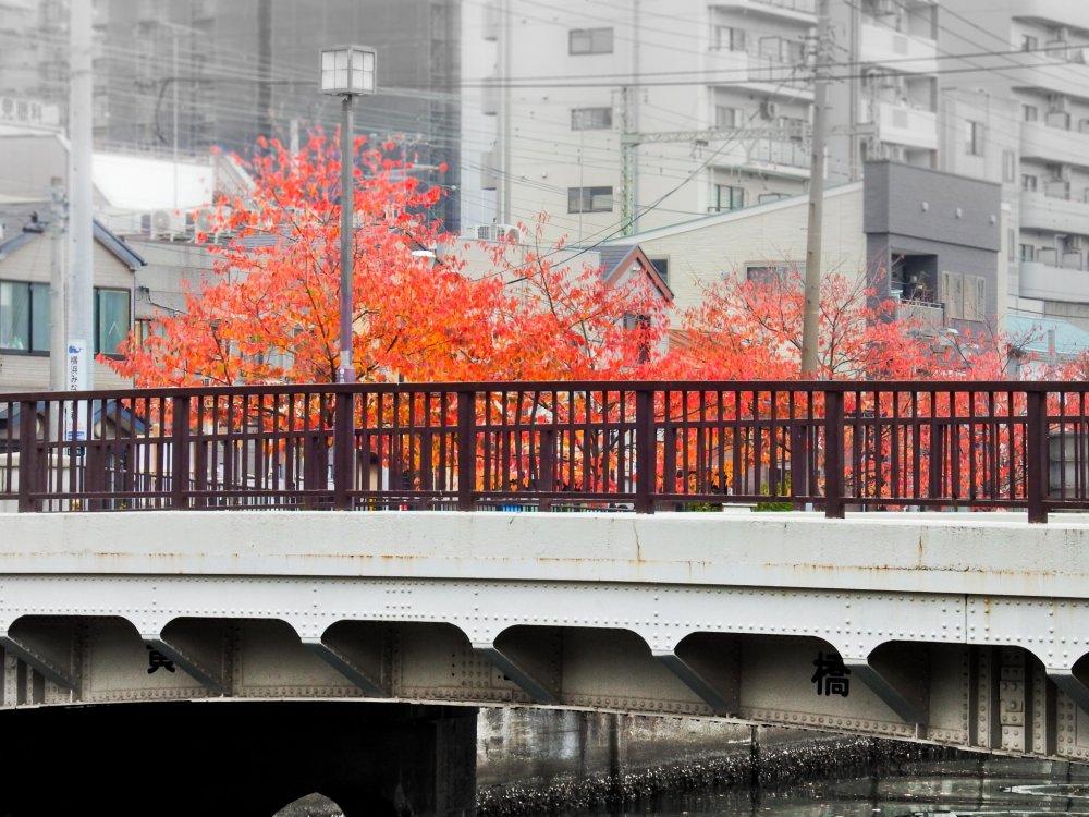 Tiến gần đến cực nam của con sông gần Sakuragicho, bạn sẽ thấy những cái cây đầu tiên được phủ kín bởi sắc thu.