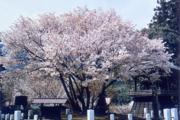 Princess Chujo Seigan Cherry Tree