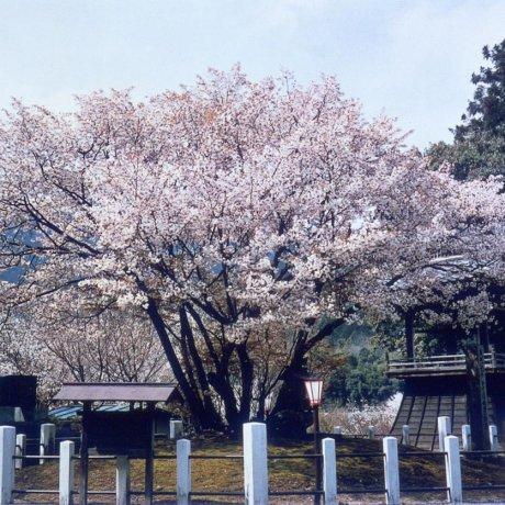 Princess Chujo Seigan Cherry Tree